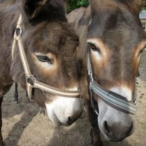 zwei Eselköpfe im Tierpark