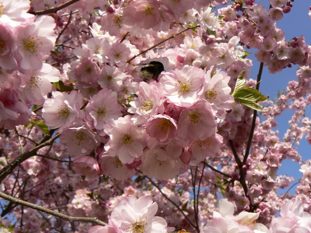rosa Kirschblüten Sonnenlandpark