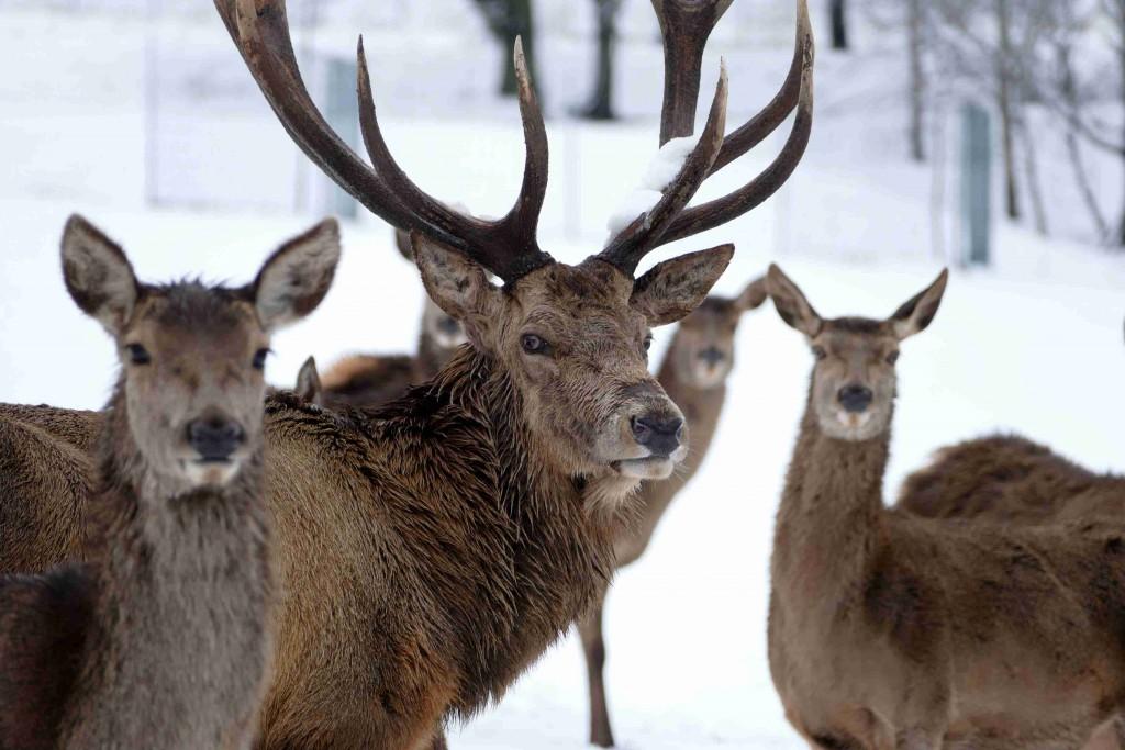 Hirsche_Winter