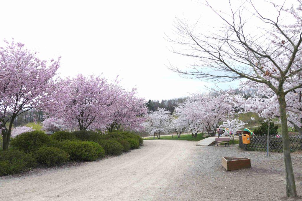 Kirschblüte im Sonnenlandpark